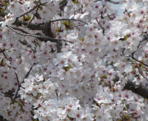 桜の開花情報です<桜、満開2018.4.02> イメージ